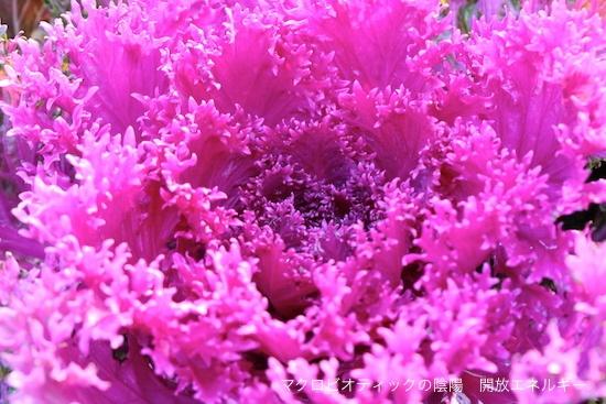 葉牡丹 マクロビオティック 京都府立植物園