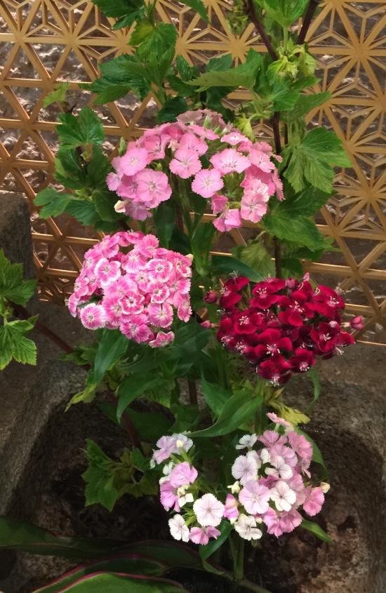 加賀屋 京都店 桜