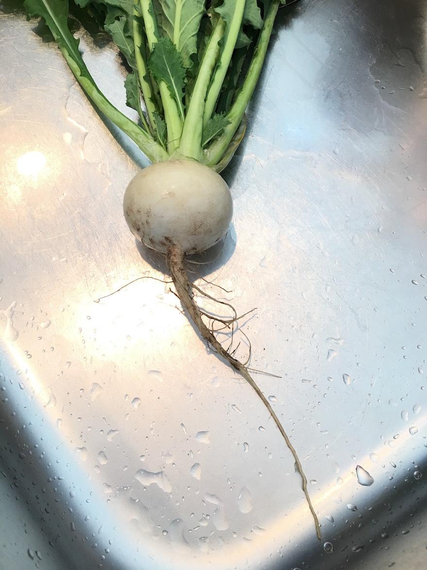 自然栽培 蕪1
