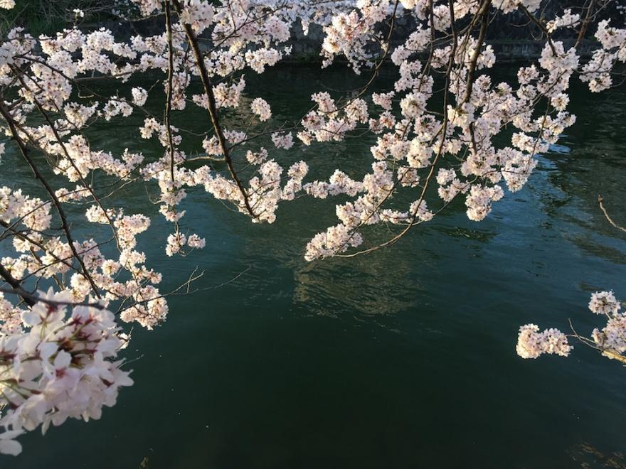 京都 琵琶湖疏水の桜4